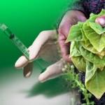 A DARPA víruscsapata növényalapú, termeszthető oltóanyagot fejleszt