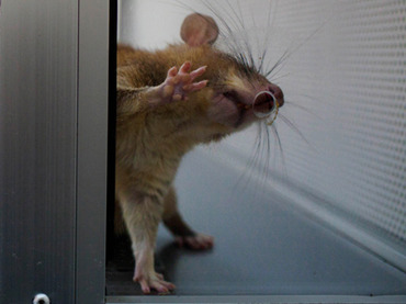GMO Study Broadcast: Russian GMO Rat Experiment to be Broadcast 24/7