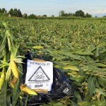 GMO contamination of organic crops