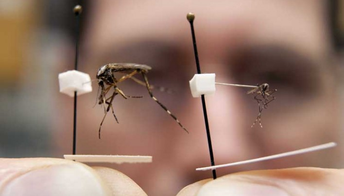Massive Mosquitoes 20x Normal Size Coming to US
