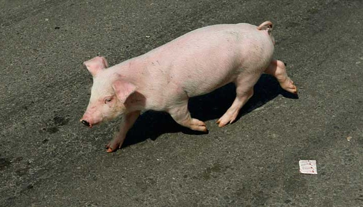 British Pig 26 in drive to create disease-resistant GM animals