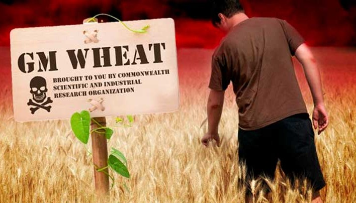 GM wheat could permanently damage human genetics by silencing hundreds of genes throughout the body
