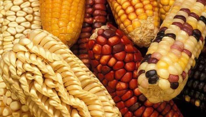 A génmódosított kukorica átment az első EU engedélyezési rostán