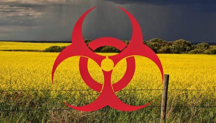 A Monsanto és a Bayer GM növényei a tiltás ellenére is megfertőzik az európai földeket