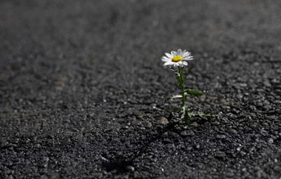 Daisy growing out of asphalt road --- Image by © TORU TAKEUCHI/amanaimagesRF/amanaimages/Corbis